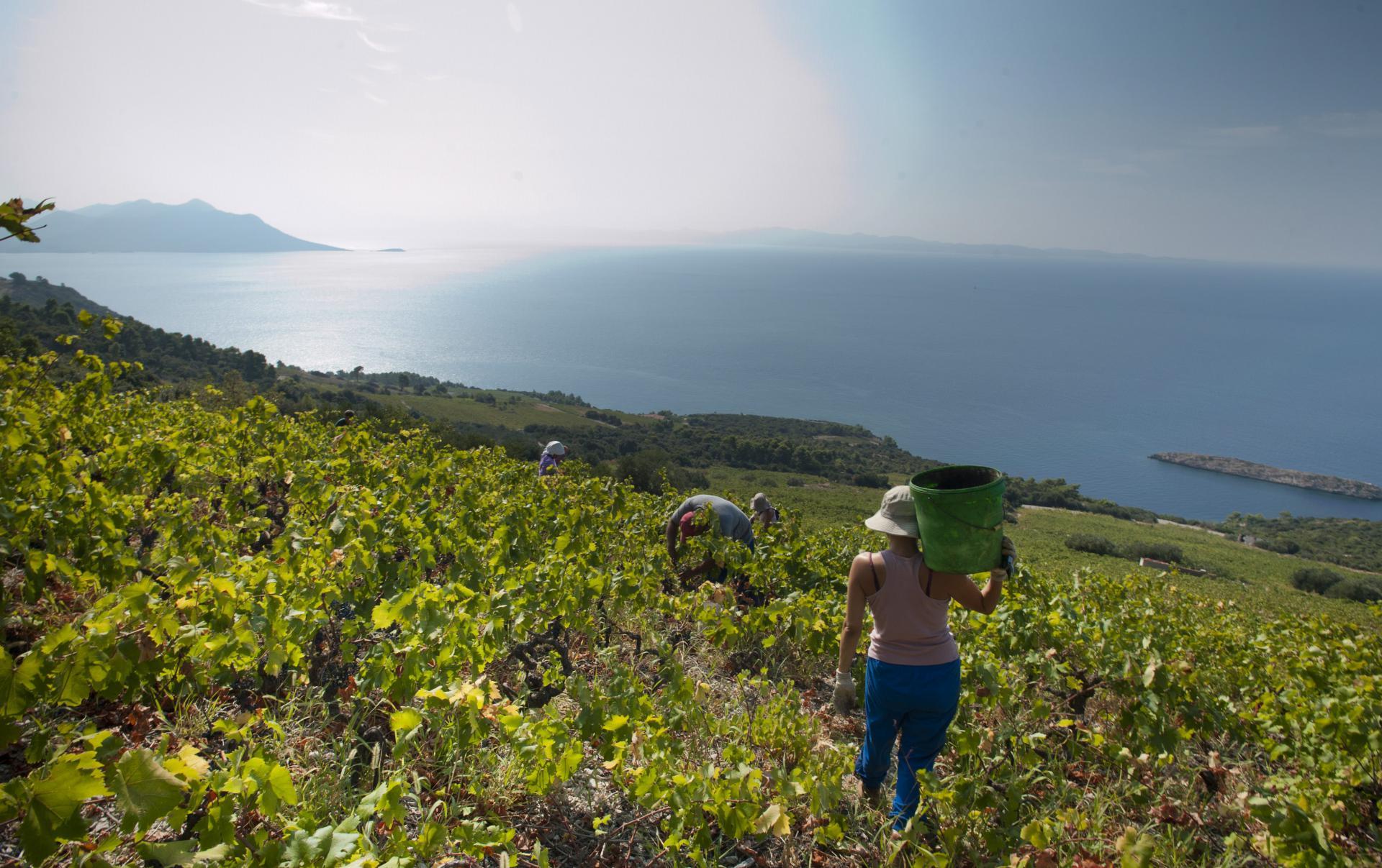 vinograd Pelješac
