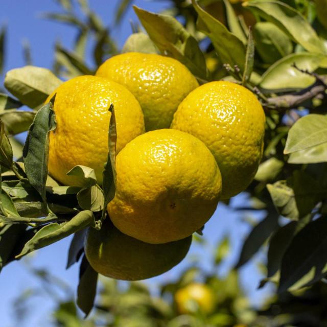 Uoči berbe mandarina.<br />