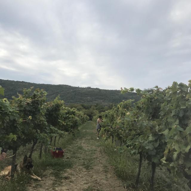 berba grožđa Konavosko polje, OPG Mihaica