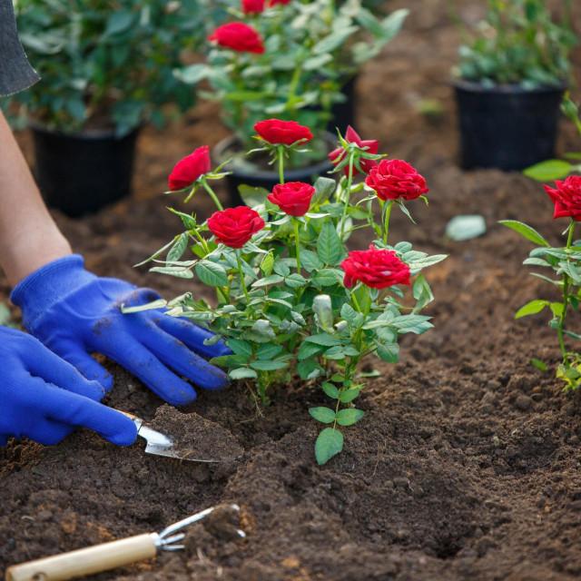 Jesenska sadnja ruža ima velike prednosti pred proljetnom. Posađene u jesen, do zime će se već dobro ukorijeniti