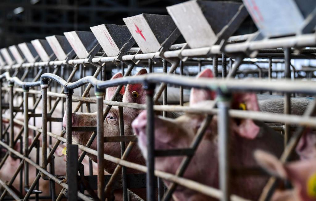 Hrvatska je što se tiče svinjogojske proizvodnje na samom dnu europskih zemalja