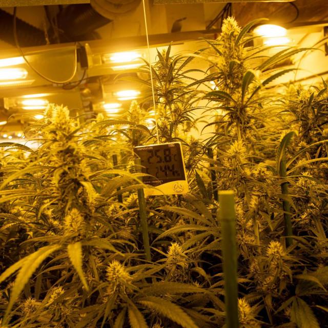 U 10 akcija tijekom četiri mjeseca u cetinskom je kraju zaplijenjeno 21,5 kilograma marihuane