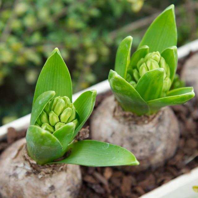 Lukovice zumbula mogu se posaditi do kraja listopada na dubini od 15 do 20 cm