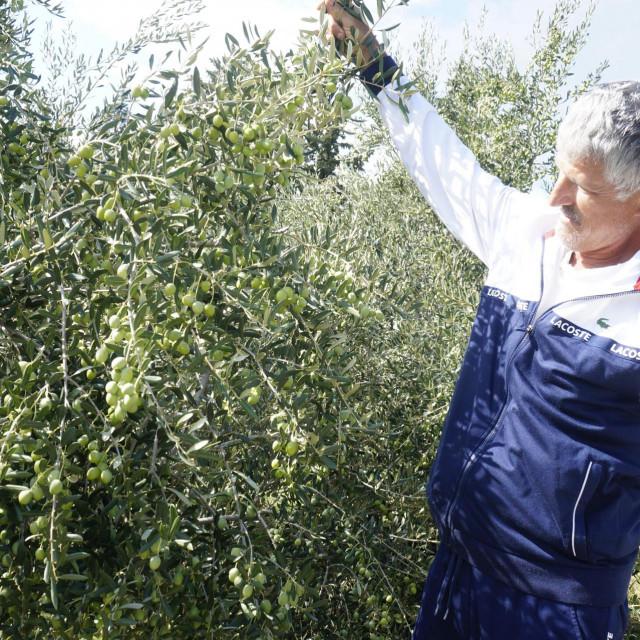 Tomislav Slišković: S maslinama sam radio cijeli dan