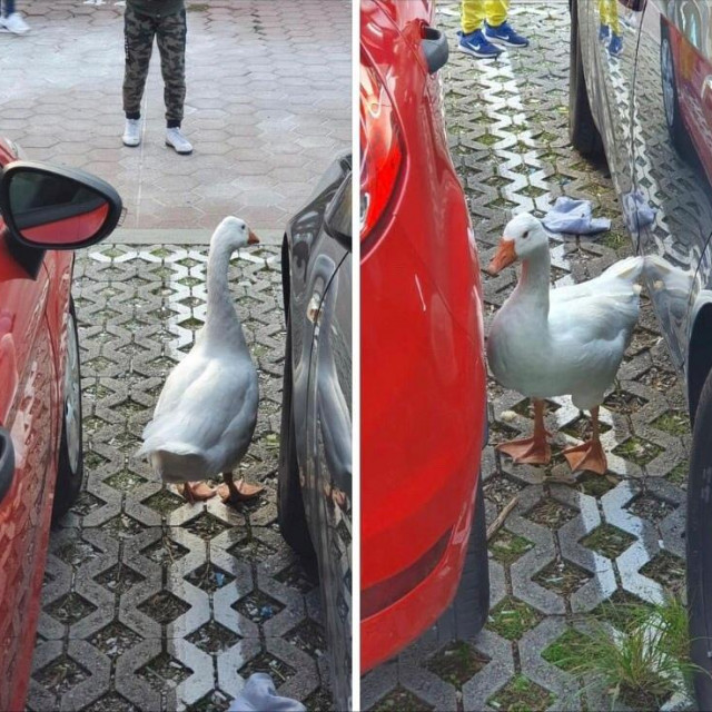 Zalutala patka u Hladnici