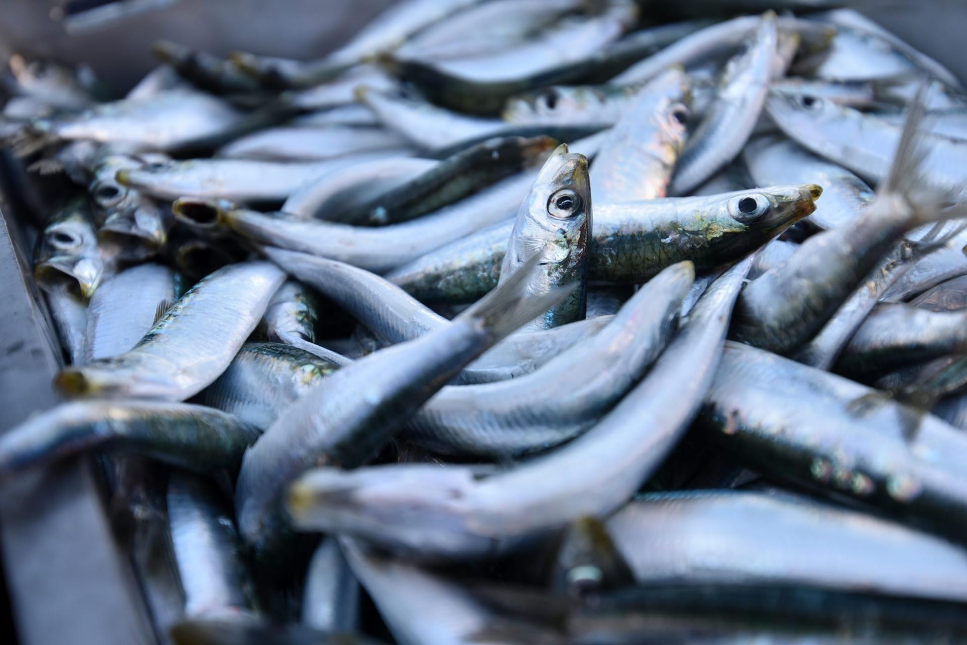 Zadar, 17/02/20 Završio je zimski lovostaj na plavu ribu, a ribari su jutros u ribarskoj luci u Gazenici iskrcavali svjezu srdelu koju su sinoc ulovili u prvom ovogodisnjem izlasku na more.