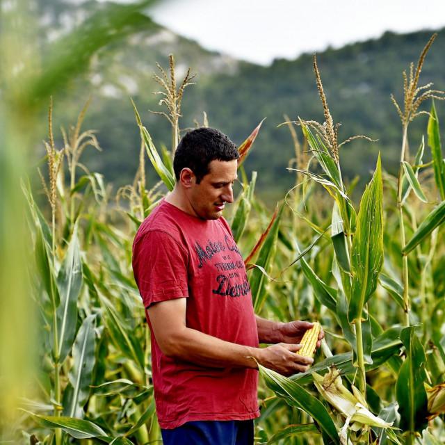 Kukuruz je rijetka žitarica koja je kompletno iskoristiv