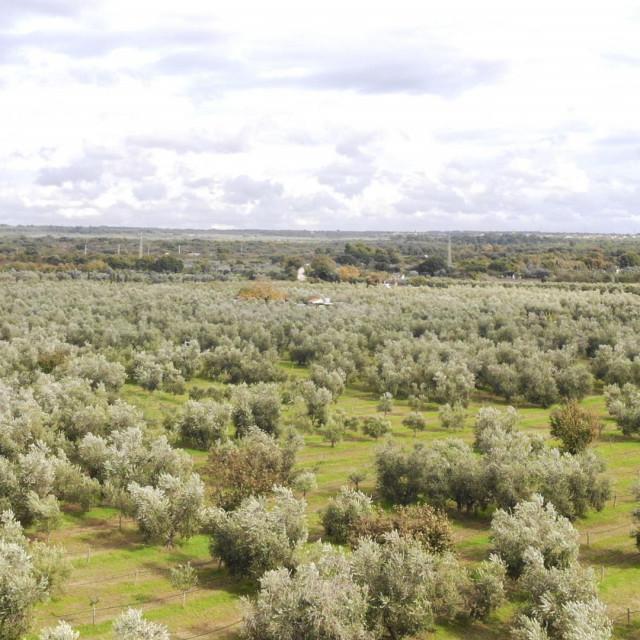 Maslinik Agroprodukta u Fažani