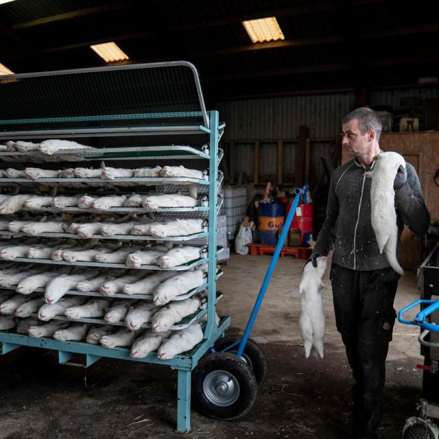 Prije dva tjedna Danska je naredila klanje svih nerčeva u uzgajalištima u zemlji kako bi se suzbila epidemija covida-19 na farmama