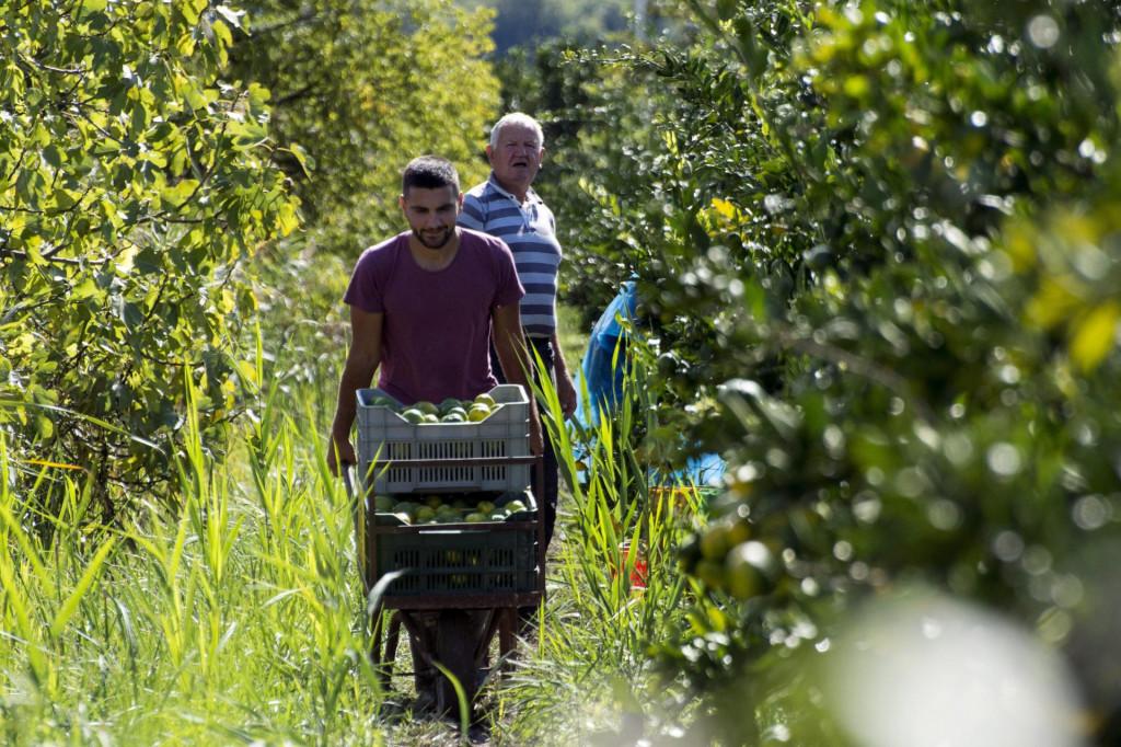 Berba mandarina u dolini Neretve iz godine u godinu sve je uzaludniji posao