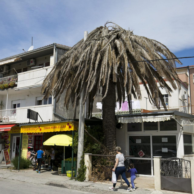 Ovako izgleda palma napadnuta pipom na splitskim Brdima