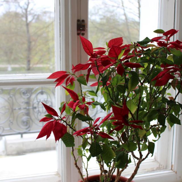 Božićna zvijezda u drugoj godini uzgoja