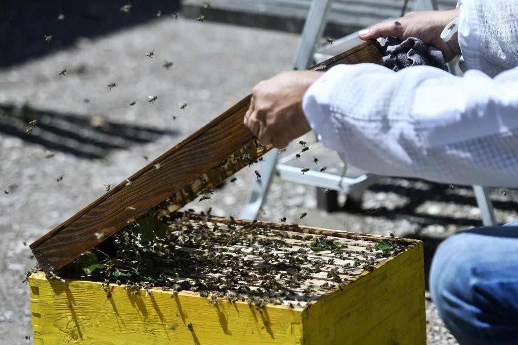 Juro Jelušuć, pčelar Hrvatske pčelarske službe, miče roj pčela