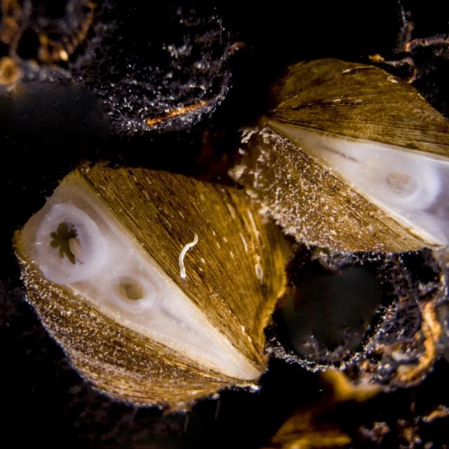 Hrvatska endemska vrsta školjkaša Congeria kusceri u utrci je za mekušca godine