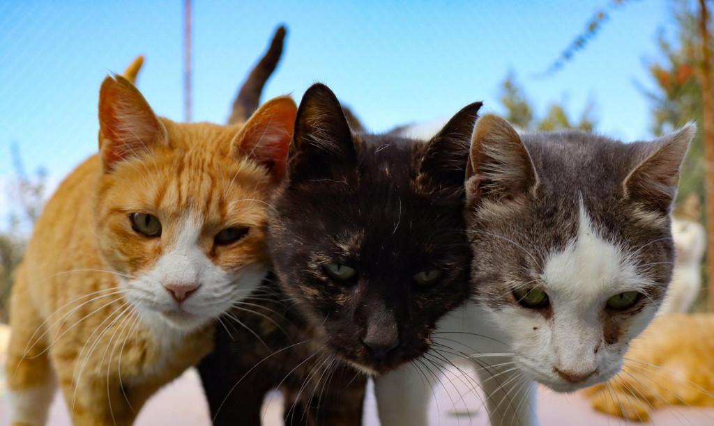 Mace su uz pse omiljeni kućni ljubimci.