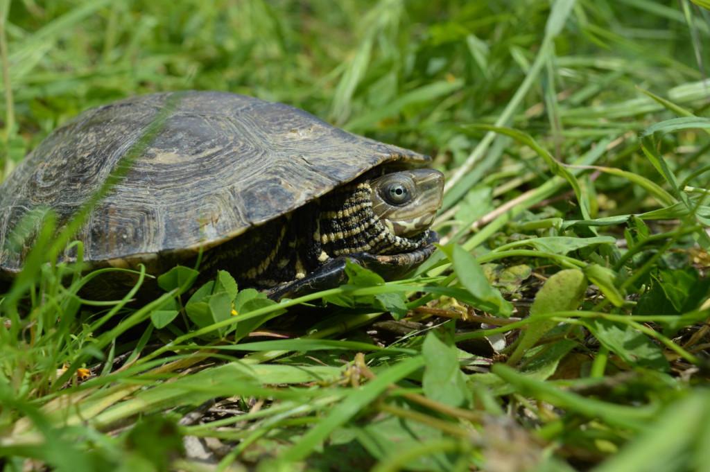 Odrasla riječna kornjača za razliku od barske kornjače ima čvrsto spojen oklop