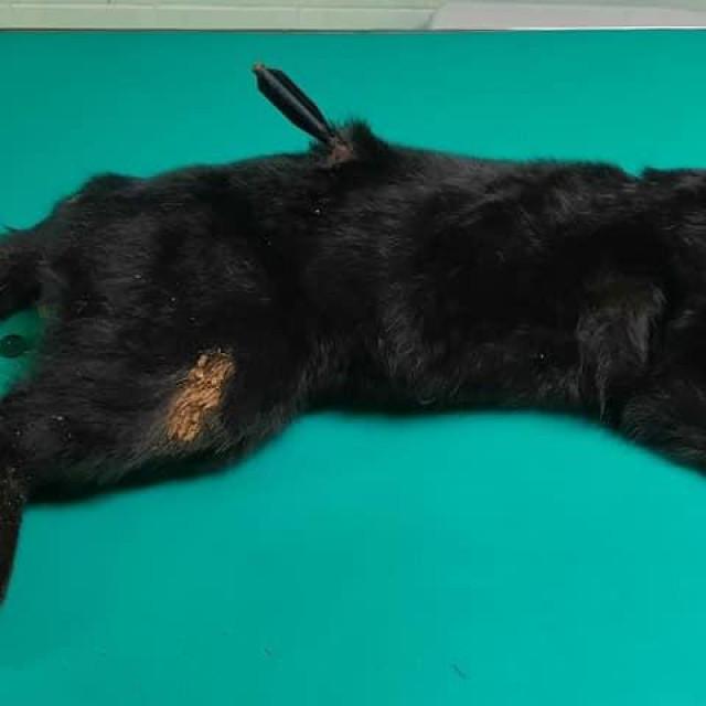 Mačka pogođena samostrelom