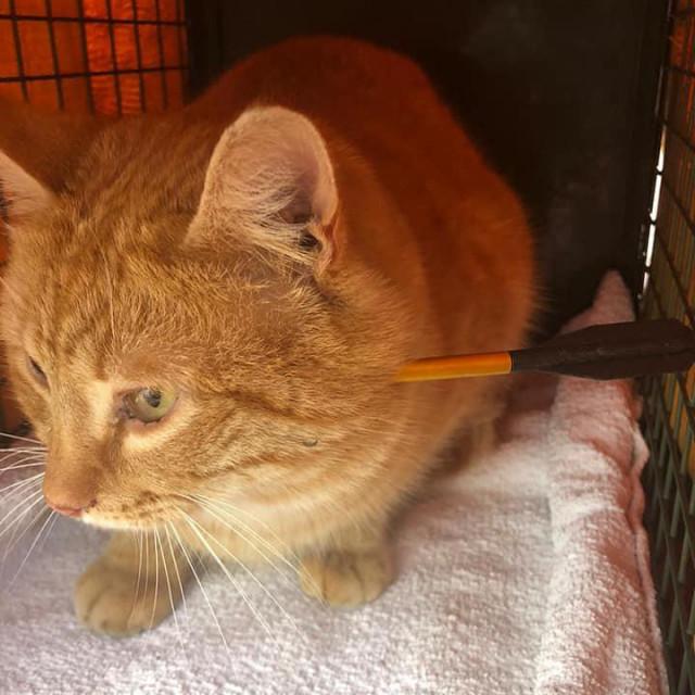 Mačak pogođen samostrelom uspio je preživjeti