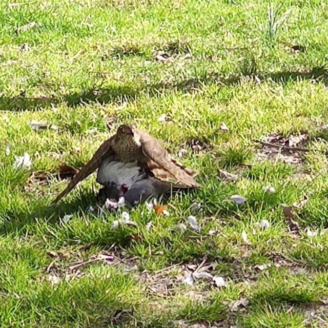 Kobac ptičar u Đardinu