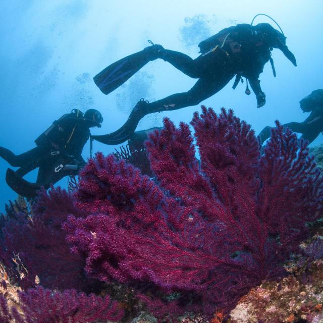 Crvene gorgonije u akvatoriju Vodnjaka, najzapadnijeg u arhipelagu Paklinskih otoka pored Hvara