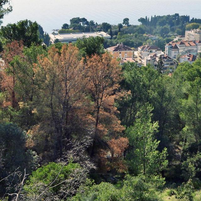 Split, 151220<br /> Osusena stabla na Marjanu.<br /> Posljednjih mjeseci situacija u samoj sumi krajnje je zabrinjavajuca jer se ponovno naglo povecava broj osusenih stabala.<br /> Najveci broj osusenih i ostavljenih stabala nalazi se na samom hrbatu Marjana od osmatracnice prema institutu.<br />