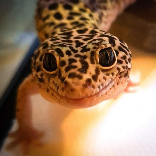 Gušter vrste leopard gecko Zmajo