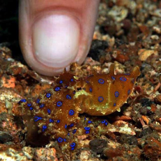Plavoprstenasta hobotnica