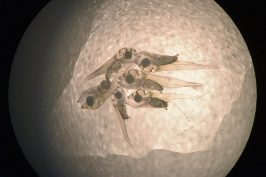 Ribe bi mogle biti prve životinje uzgojene na Mjesecu