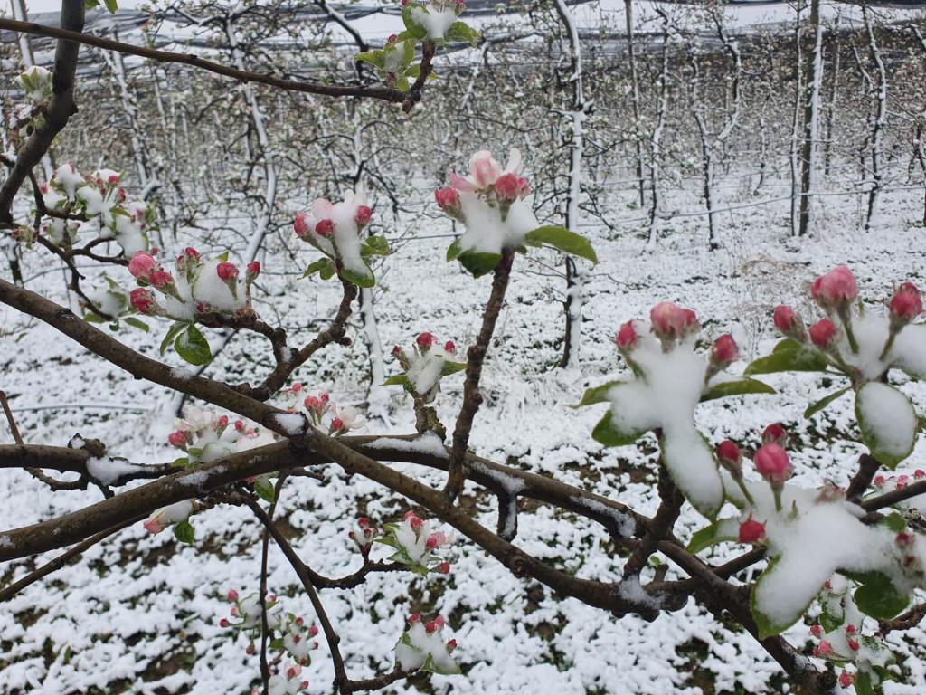 Jabuke u cvatu okovao led