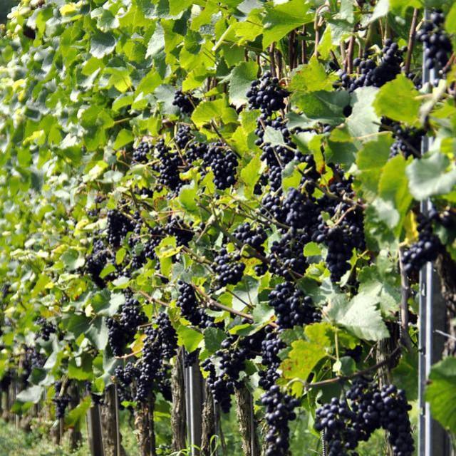 Crna pjegavost ili Phomopsis viticola uzrokuje simptome vidljive na mladicama, rozgvi i listovima te utječe na kasnije otvaranje pupova