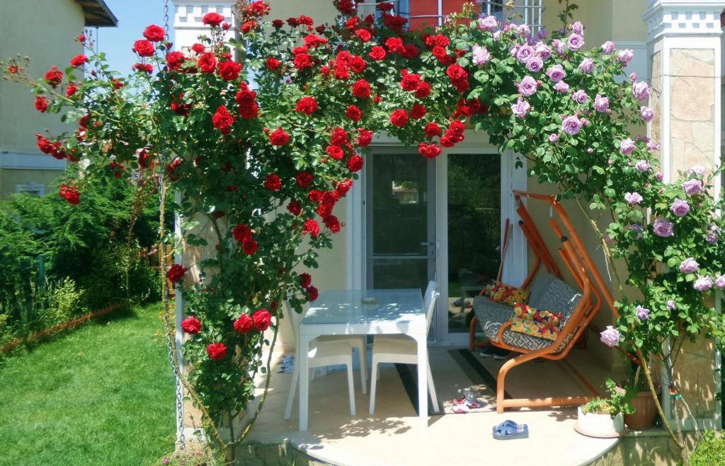 Ruže penjačice mnogima su izbor broj jedan