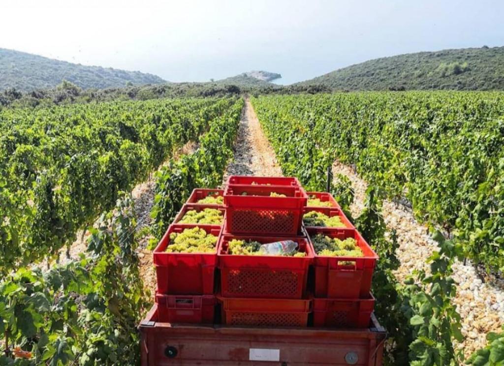 Zbog niskih proljetnih temperatura najviše štete prijeti vinogradima u udolinama