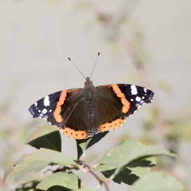 Začudo, rijetki traže potpore za očuvanje ptice kosca, četiri vrste leptira i održavanje suhozida