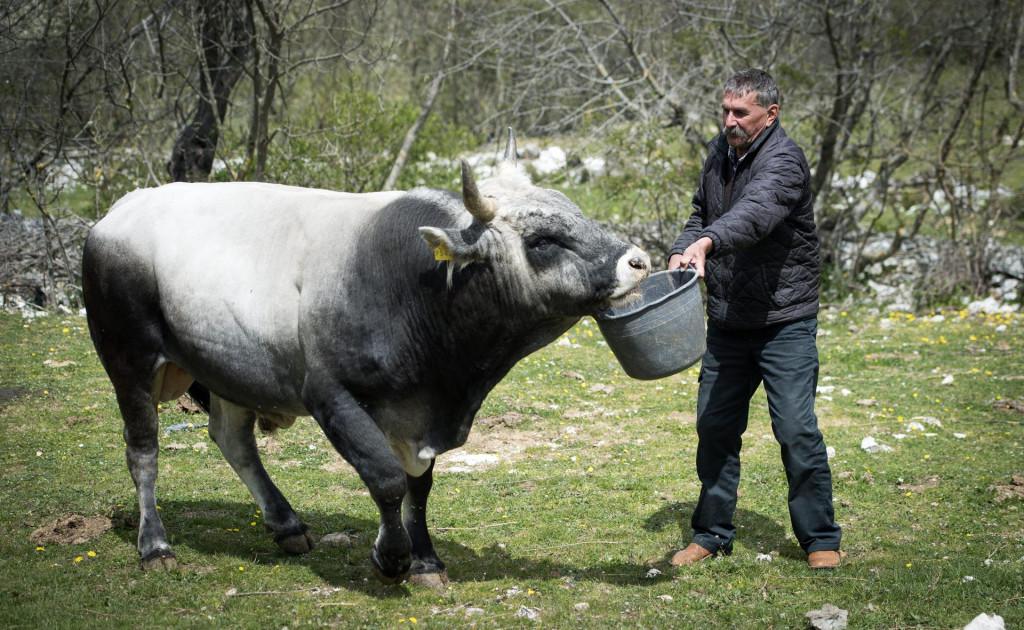 S jednim od svojih bikova