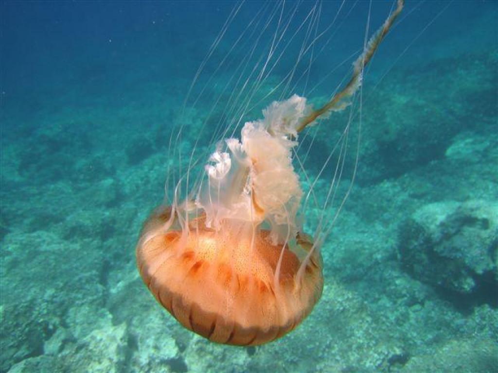 Meduza Chrysaora hysoscella snimljena 2016. godine pod Konavoskim stijenama