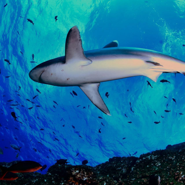 Morski pas srebrnog vrha (Carcharhinus albimarginatus)
