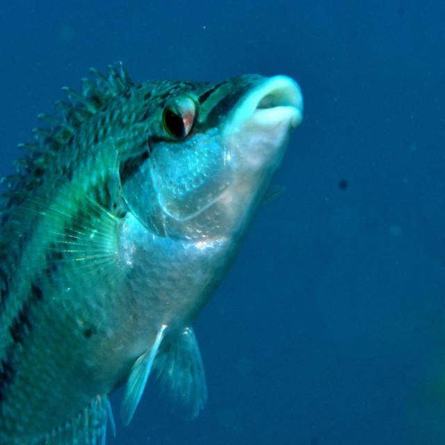 Lumbrak snimljen u riječkom Diving centru Marco polo