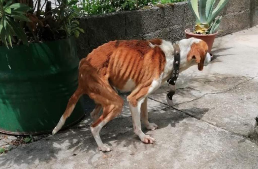 Pas iz Trilja