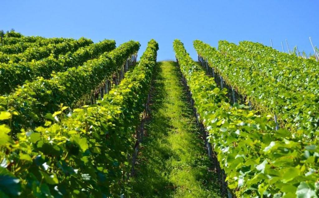 Bolest napada sve organe vinove loze - list, cvjetove, bobice, izboje.
