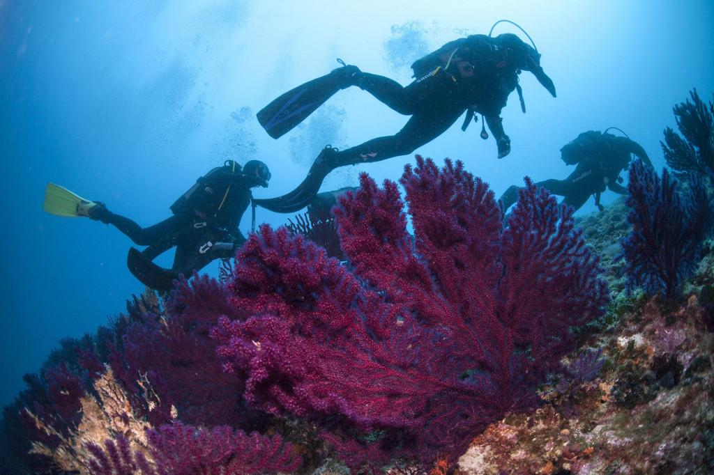 Ronioci rone uz kolonije crvenih gorgonija