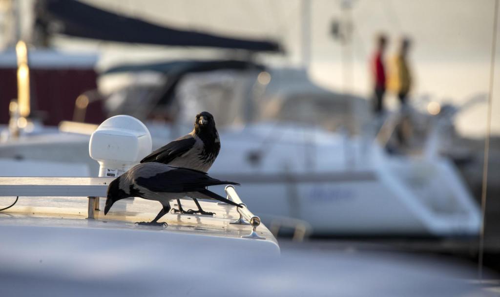 Vrane se brzo prilagode svakom okolišu