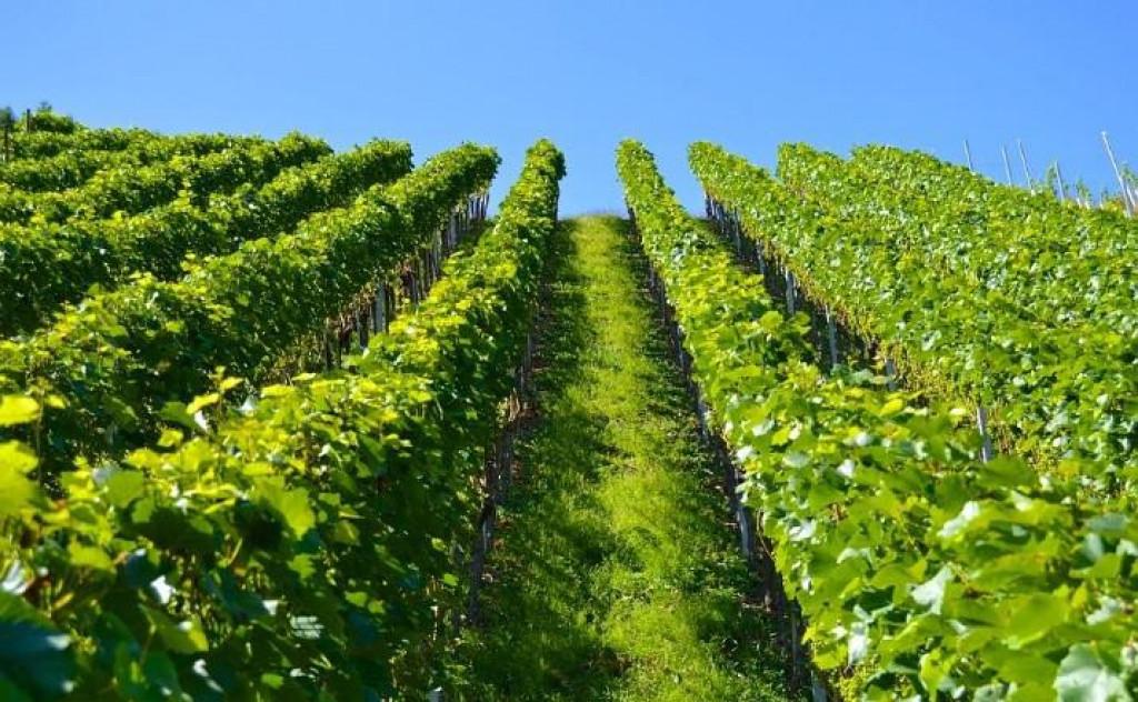 Kvalitetnom zaštitom vinove loze na dobrom smo putu do vrhunskog vina