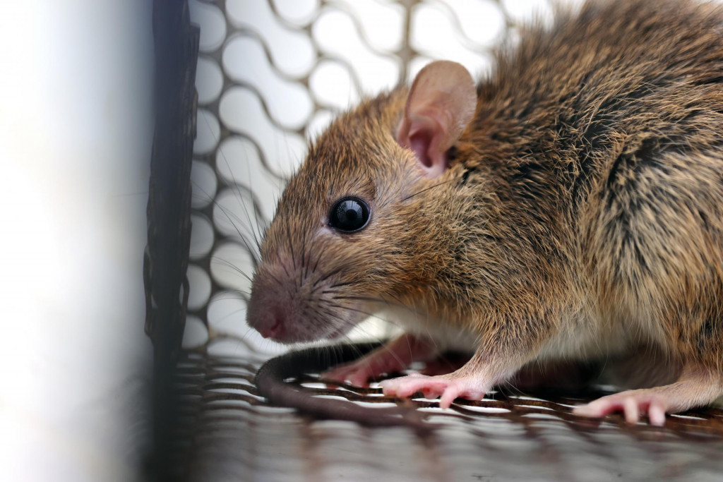 Od 516 preuzetih uzoraka na hantavirus, koji izaziva mišju groznicu, pozitivno je bilo 203