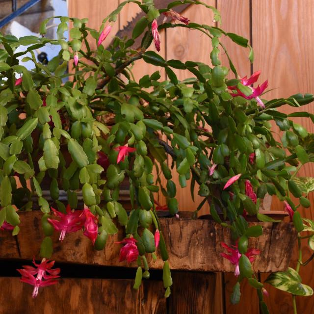 Božićni kaktus neodoljiv je u svakoj boji