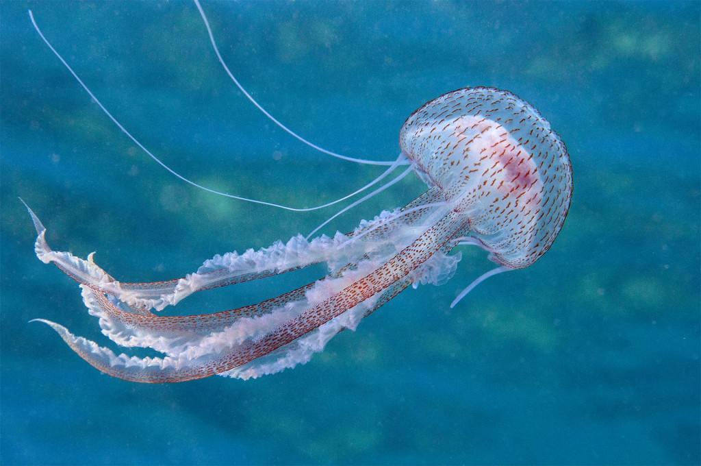 Meduza morska mjesečina (Pelagia noctiluca)