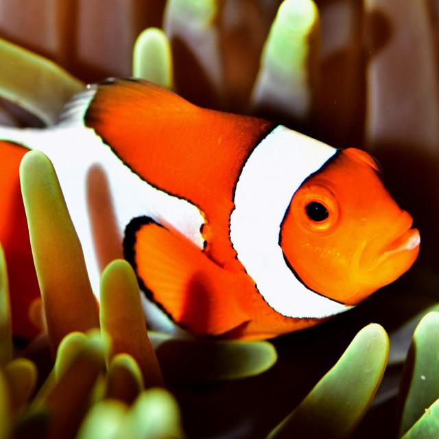 Narančasta riba-klaun (<em>Amphiprion percula</em>)