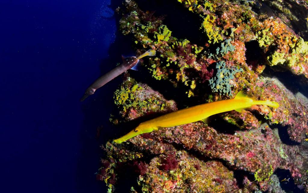 Riba trubač