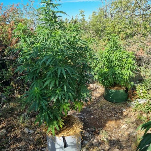 Plantaža marihuane u zaleđu Trogira