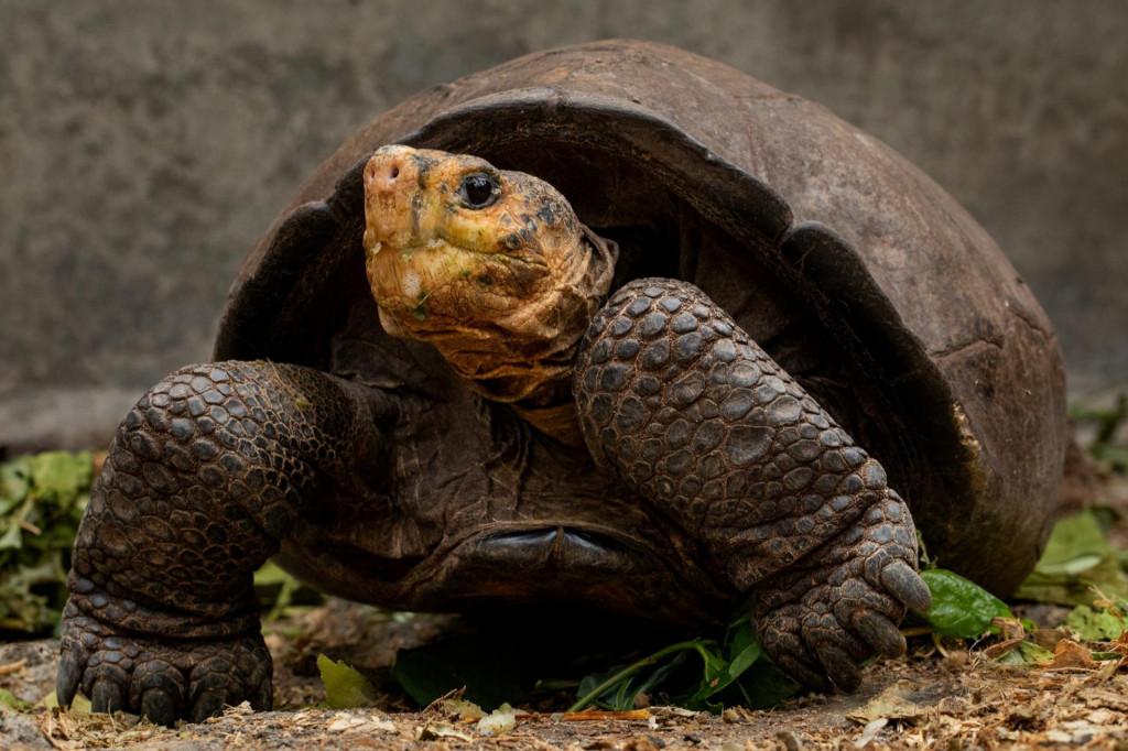 Fantastična velika kornjača s Galapagosa