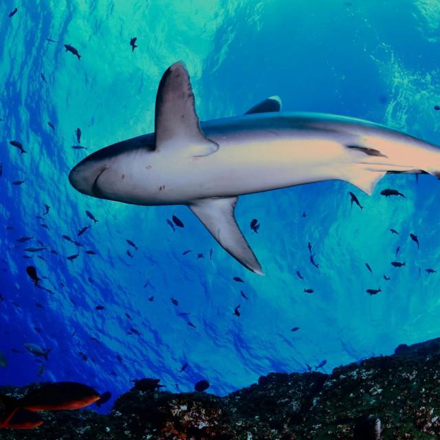 Morski pas srebrnog vrha (Carcharhinus albimarginatus)snimljen u Meksiku